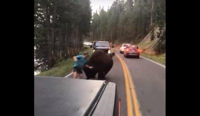 Man Antagonizes Bison in Yellowstone National Park