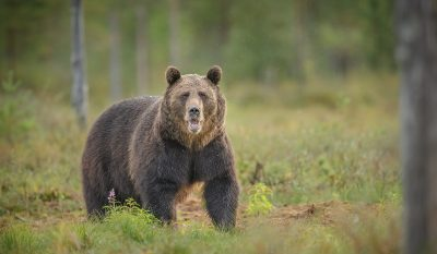 Watch Out Elk Hunters, Study Shows Grizzly Bears Follow You