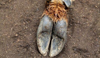 Treponema Associated Hoof Disease