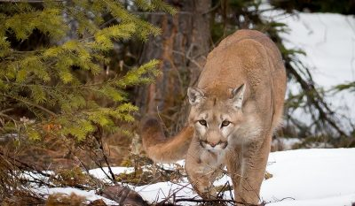 Trail Runner Suffocates Attacking Mountain Lion