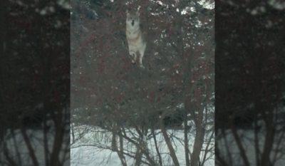 Tree-Climbing Coyote