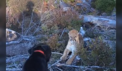 Loyal Labrador Stops Cougar Attack