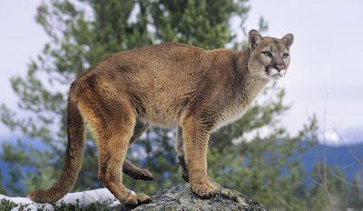 Illegal Mountain Lion Hunt