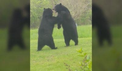 New Jersey Bear Brawl