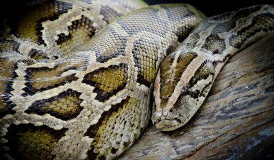 Python Swallows Juvenile Alligator