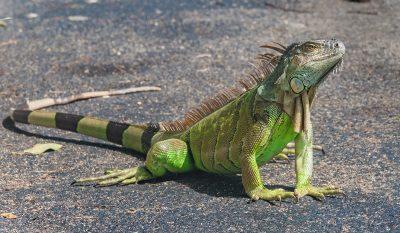 Invasive Iguanas