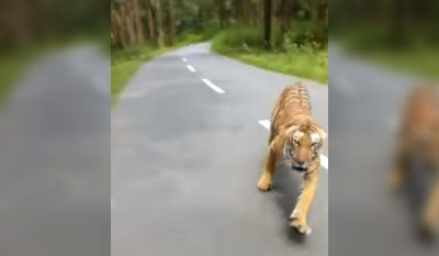 Tiger Chases Bike Riders