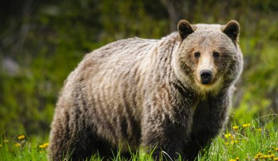Mountain Biker Stabs Grizzly Bear During Attack on Mount Doogie Dowler