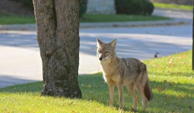 Metro Detroit Coyote Sightings