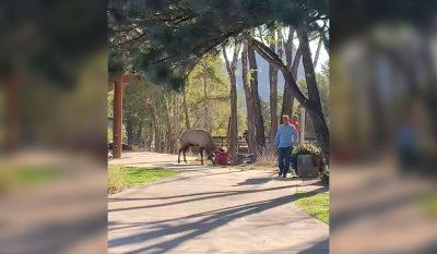 Estes Park Elk Attack