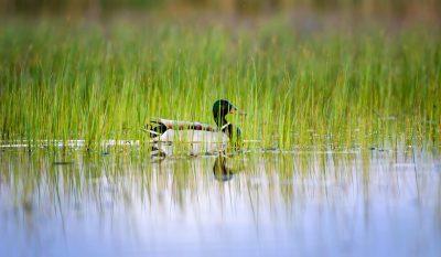 Ducks Unlimited's Conservation Efforts