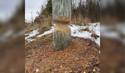 Beaver Gnaws Utility Pole