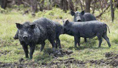 Feral Hog Assault