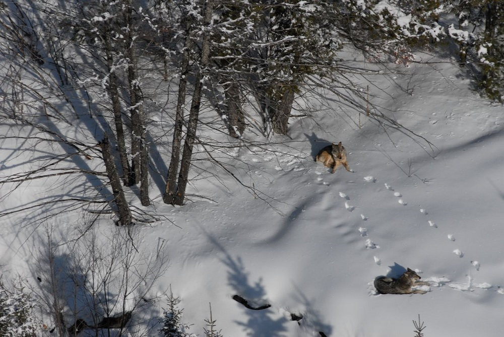 Michigan Wolf Survey